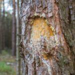 一開口就飄出口臭?松樹皮萃取物幫你抑制口中細菌,解決口氣問題!